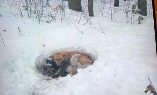 Собака жила в снегу вместе со своими щенками, но, несмотря ...